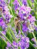 L'abeille travaille