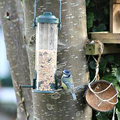 Finch in our  garden