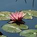 20170706 2405CPw [D~BI] Seerose, Botanischer Garten, Bielefeld