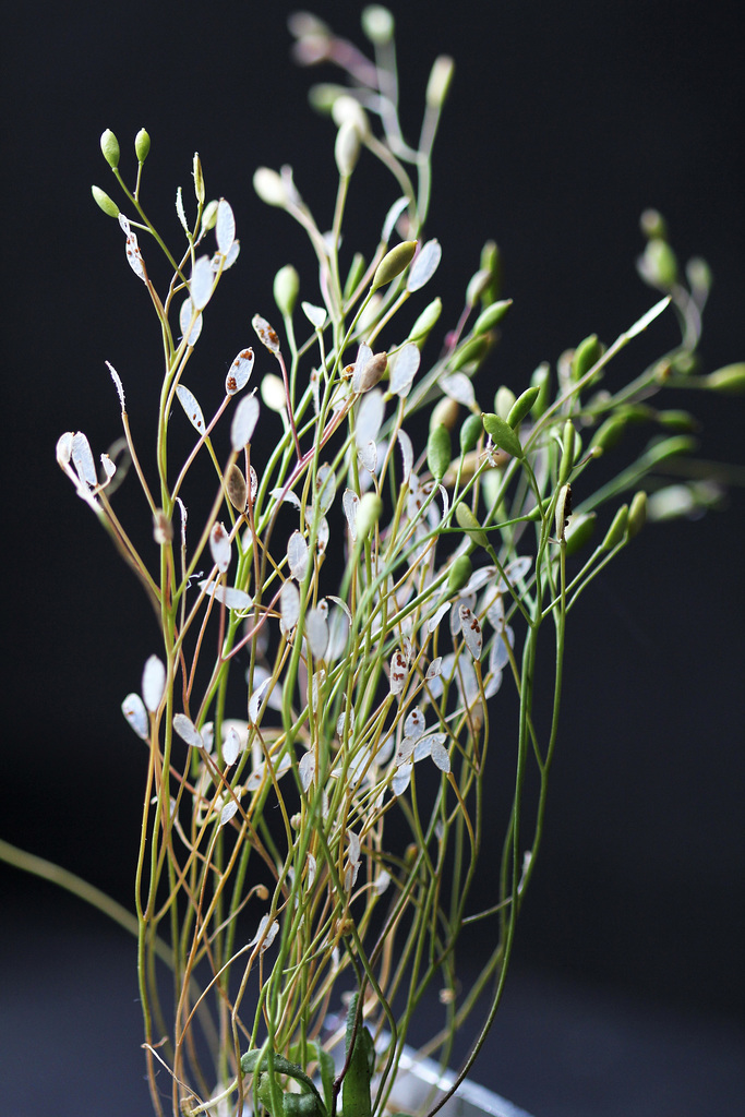 Erophila verna , drave printanière (2)