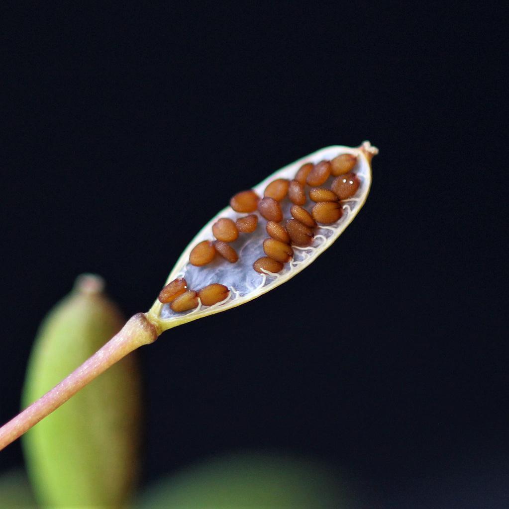 Erophila , graines