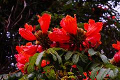 Afrikanischer Tulpenbaum (Spathodea campanulata) - Tulipier du Gabon