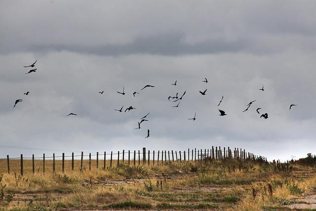 Crow take off