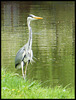 heron by the canal