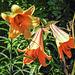 20170706 2410CPw [D~BI] Lilie, Botanischer Garten, Bielefeld