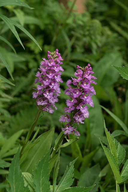 Platanthera psycodes (Small Purple Fringed orchid)