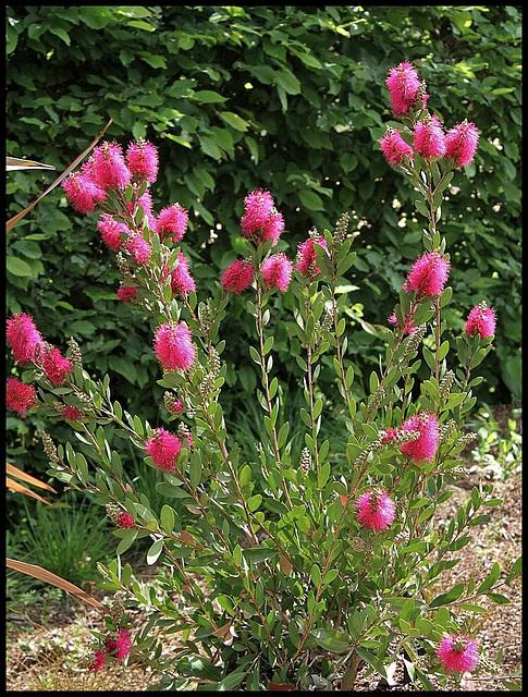 Callistemon viminalis 'Hot Pink' (2)