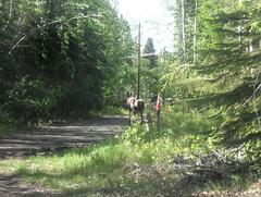 passing moose