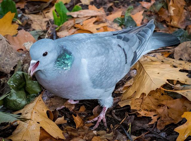 A stock dove, I had 25 of these wandering around my feet, I was feeding them peanuts