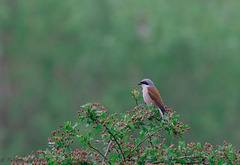 Pie-grièche écorcheur mâle (Lanius collurio - Red-backed Shrike)