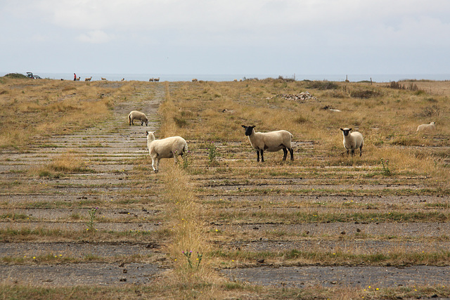 Sheep on the runway!