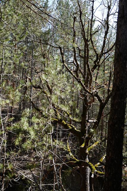 arbre très moussu