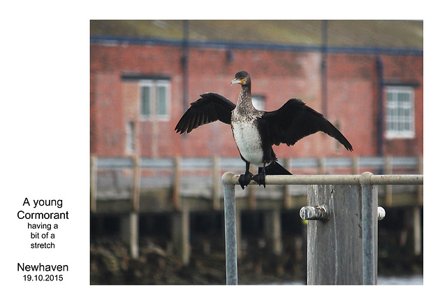 Young Cormorant - Newhaven - 19.10.2015