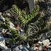 20170706 2417CPw [D~BI] Kaktus (Cylrindropuntia whipplei), Botanischer Garten, Bielefeld
