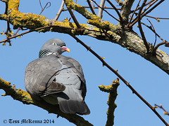 Common wood pigeon  013