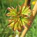 Toutes jeunes feuilles (érable ?) (Rhône, France)