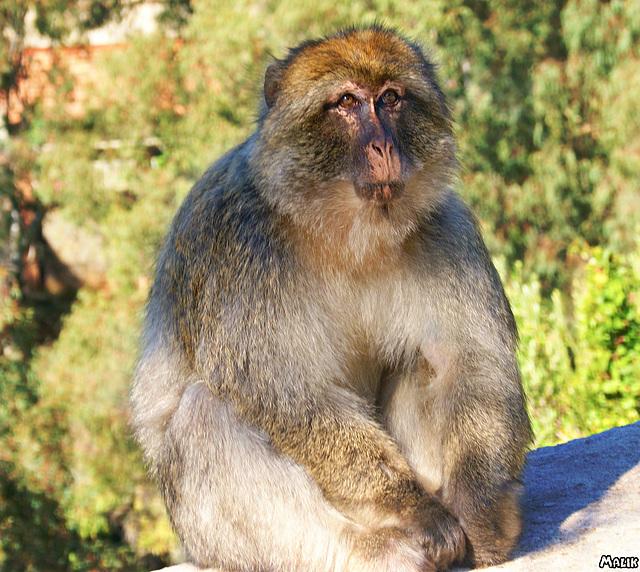 Le singe Magot de Gouraya.