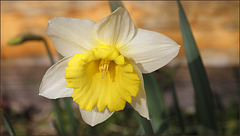 Narcisse trompette