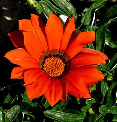 Kusadasi- Orange Bloom