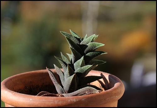 Haworthia tortuosa v. curta (8)