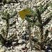 20170706 2418CPw [D~BI] Kaktus (Cylrindropuntia imbrica), Botanischer Garten, Bielefeld