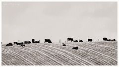The Bovines and The Bird