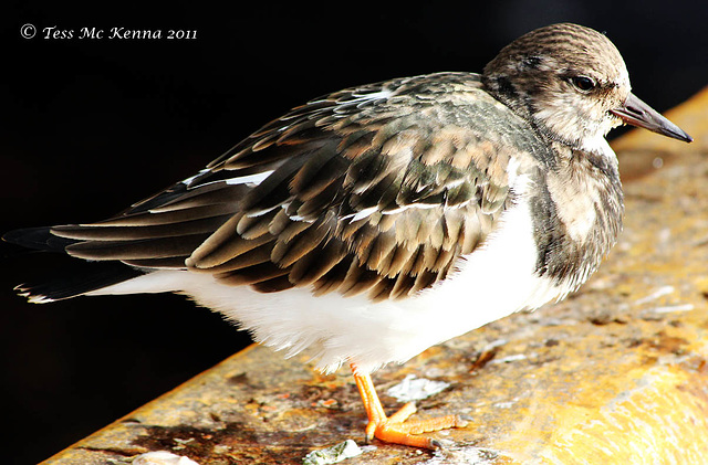 Ruddy Turnstone  014 copy