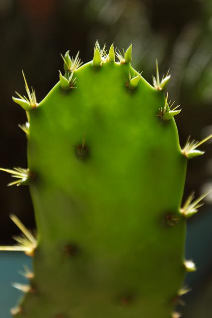 unknown Opuntia var.