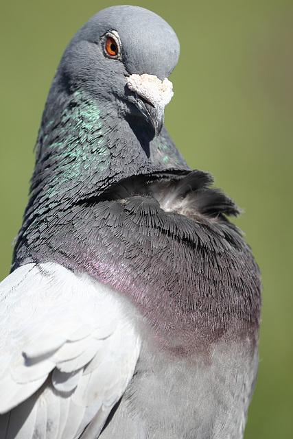IMG 3904 Pigeon dpp