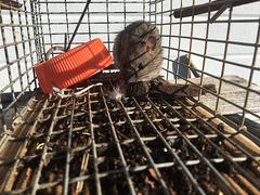 Ratty got himself caught, he did