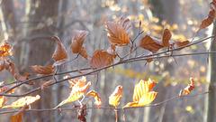 Buchenblätter in der Novembersonne