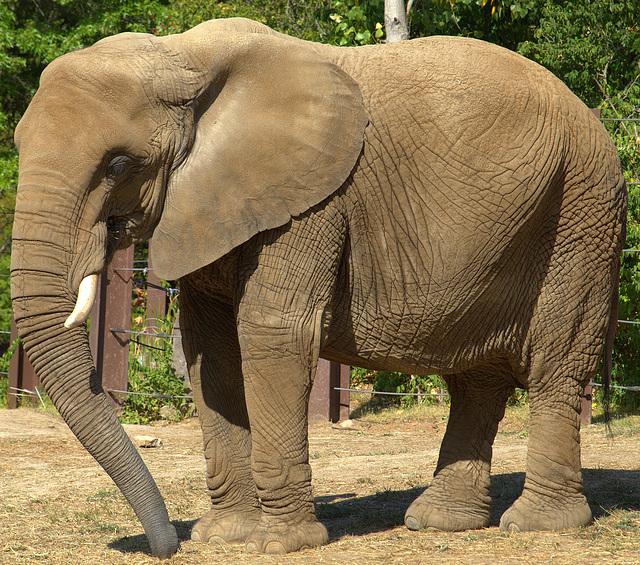 Elephant at Kansas City Zoo