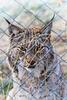 Lynx lynx (PiP)