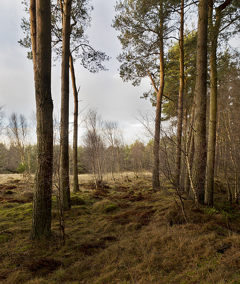 Birches lead the way