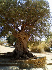 Olive-tree of the Temple of June.