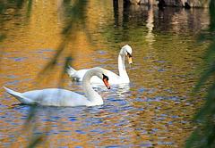 Swans at Boston Common