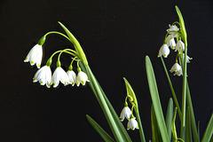Nivéole de printemps