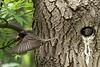 Etourneau sortant de son nid