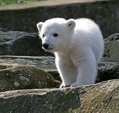 Knut, le petit Ourson