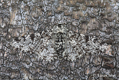 Biston betularia (The Peppered Moth )