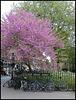 Broad Street Judas tree