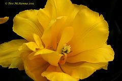 "Tulipa ""Monte Carlo""( Double early Group)  067"