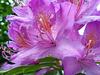 Au coeur...Rhododendron...