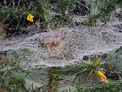 Dewy web on gorse