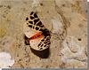 Cymbalophora pudica femelle.