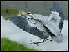 flying heron with fish