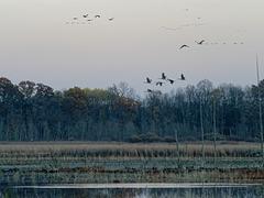 Cranes Over the Marsh