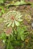 Grande astrance = Astrantia major, Apiacées (Haute-Savoie, France)