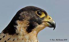 Peregrine falcon Profile  1 044 copy