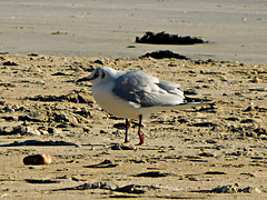 mouette rieuse,